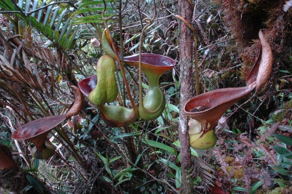 Upper pitcher of Nepenthes lowii in their natural habitat. Permission and (c) Jeremiah Harris 2005.