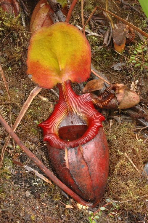Wild Nepenthes ... Nepenthes Lowii